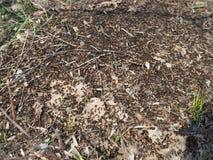 Grande fourmilière avec la colonie des fourmis dans des fourmis de forêt sur la colline de fourmi dans les bois plan rapproché, m photo stock