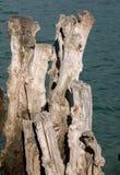 """Grande frangiflutti, 3000 tronchi per difendere la città dalle maree, flocculo de l """"spiaggia di Éventail in Saint Malo, Ille immagine stock libera da diritti"""