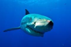 Grande frontale dello squalo bianco Fotografia Stock Libera da Diritti
