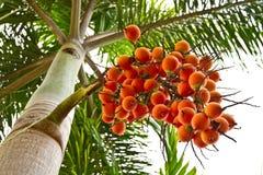 Grande frutta della palma. Fotografie Stock