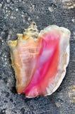 Grande fundo do escudo do Conch Foto de Stock Royalty Free