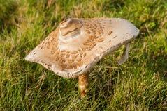 Grande fungo Immagini Stock Libere da Diritti