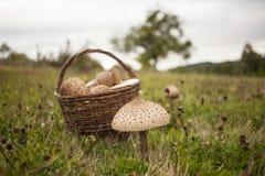 Grande fungo di parasole sul campo Immagini Stock Libere da Diritti
