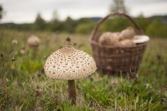 Grande fungo di parasole sul campo Fotografia Stock