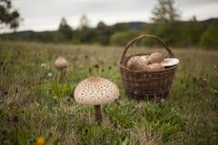 Grande fungo di parasole sul campo Fotografie Stock