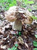 Grande fungo edulis del boletus in legno fotografie stock libere da diritti
