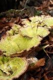 Grande fungo verde fotografia stock