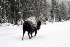 Grande funzionamento del bisonte del bufalo fotografia stock libera da diritti
