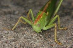 Grande gafanhoto verde (viridissima de Tettigonia) Fotografia de Stock