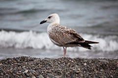 Grande gaivota branca Imagem de Stock Royalty Free