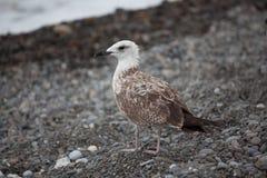 Grande gaivota branca Imagens de Stock Royalty Free