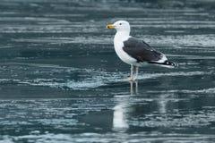 Grande gaivota com o dorso negro Fotografia de Stock Royalty Free