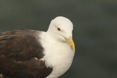 Grande gaivota com o dorso negro Foto de Stock