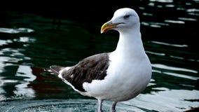 Grande gaivota com o dorso negro Foto de Stock Royalty Free