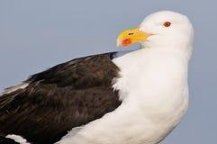 Grande gaivota com o dorso negro do retrato imagens de stock
