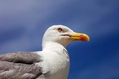 Grande gaivota com o dorso negro do retrato, Portugal Imagem de Stock Royalty Free