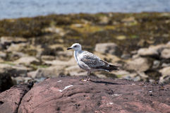 Grande gaivota com o dorso negro juvenil Imagem de Stock