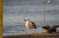 Grande gaivota com o dorso negro juvenil Fotografia de Stock