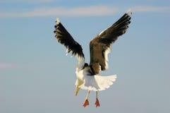 Grande gaivota com o dorso negro (larus Marinus) Foto de Stock