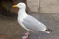 Grande gaivota de arenques Fotos de Stock