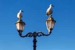 Grande gaivota de mar na manhã Imagem de Stock