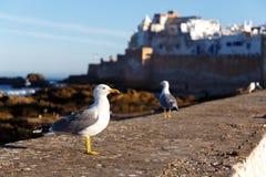 Grande gaivota de mar na manhã Fotos de Stock Royalty Free