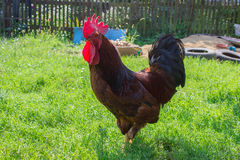 Grande gallo adulto Fotografie Stock Libere da Diritti