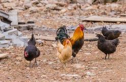 Grande gallo di cochin con quattro galline Immagine Stock Libera da Diritti