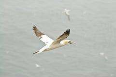 Grande Gannet nordico Fotografie Stock Libere da Diritti