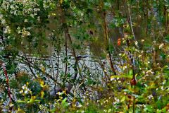 A grande garça-real azul faz própria difícil manchar no banco de rio do pântano imagens de stock royalty free