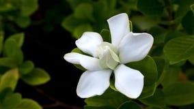 Grande Gardenia Blooms Image libre de droits