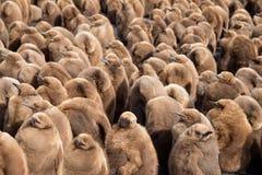 Grande garderie du Roi Penguin (patagonicus d'Aptenodytes) des poussins Photographie stock