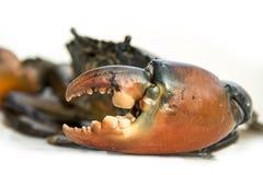 Grande garra de Live Mud Crab fotografia de stock royalty free