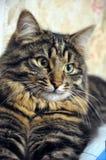 Grande gato listrado cinzento bonito fotos de stock
