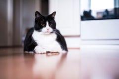 Grande gato preto e branco que descansa no assoalho imagens de stock