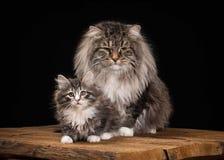 Grande gato Siberian no fundo preto com textura de madeira Foto de Stock Royalty Free