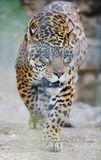 Grande gatto Immagini Stock