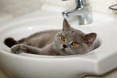 Grande gatto britannico che si trova in un lavandino bianco Immagini Stock