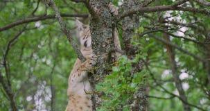 Grande gatto del lince che scala in un albero nella foresta stock footage
