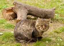 Grande gatto di tabby Fotografia Stock