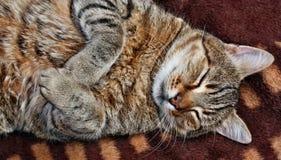 Grande gatto farcito divertente Immagine Stock