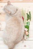 Grande gatto grasso dalla vista superiore con l'ingrediente di alimento Fotografia Stock