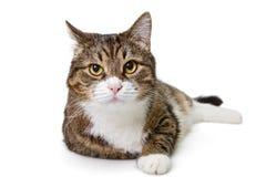Grande gatto grigio fotografia stock libera da diritti