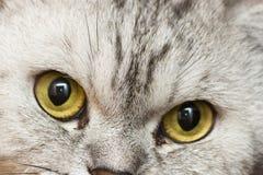 Grande gatto grigio Fotografie Stock Libere da Diritti