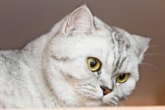 Grande gatto grigio Immagini Stock Libere da Diritti
