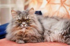 Grande gatto grigio lanuginoso Fotografie Stock Libere da Diritti
