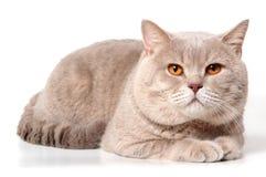 Grande gatto lilla britannico Immagini Stock Libere da Diritti