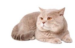 Grande gatto lilla britannico Immagine Stock Libera da Diritti