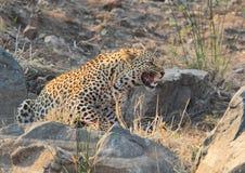 Grande gatto macchiato del leopardo che ringhia Fotografia Stock Libera da Diritti