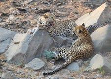 Grande gatto macchiato del leopardo che ringhia Immagine Stock